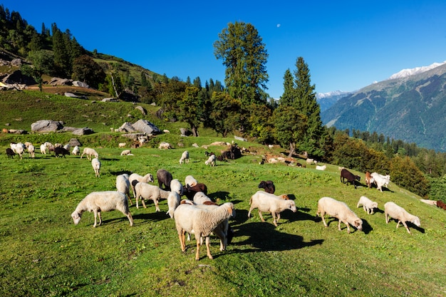 Стадо овец в гималаях