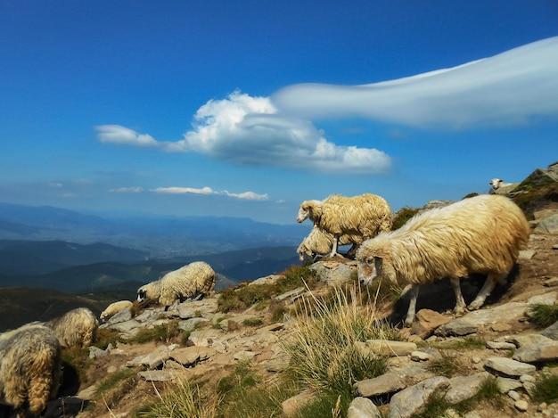 山の羊の群れ。カルパティア山脈、ウクライナの場所。