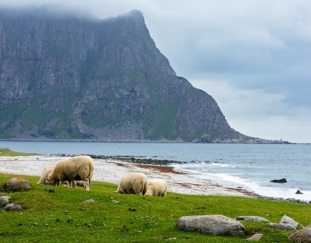 Стадо овец возле пляжа хаукланд. летний пасмурный вид. норвегия