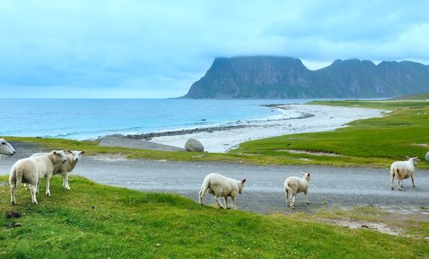 ホークランドビーチ近くの羊の群れ。夏の曇りの景色