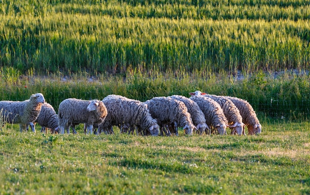 해질녘 이탈리아 투스카니의 녹색 들판에 있는 양 떼