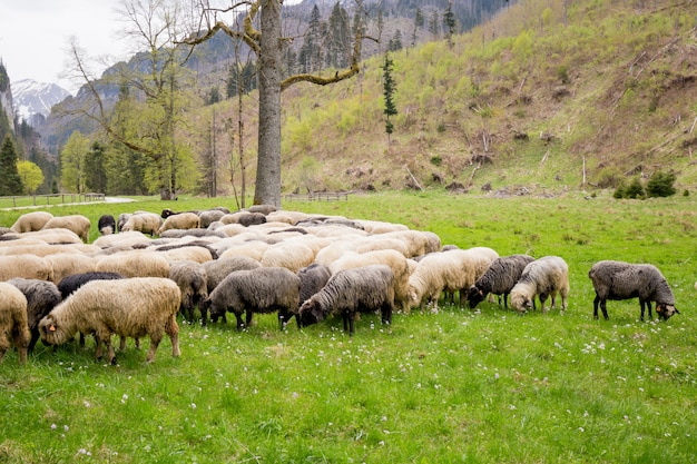 緑の芝生に羊の群れ