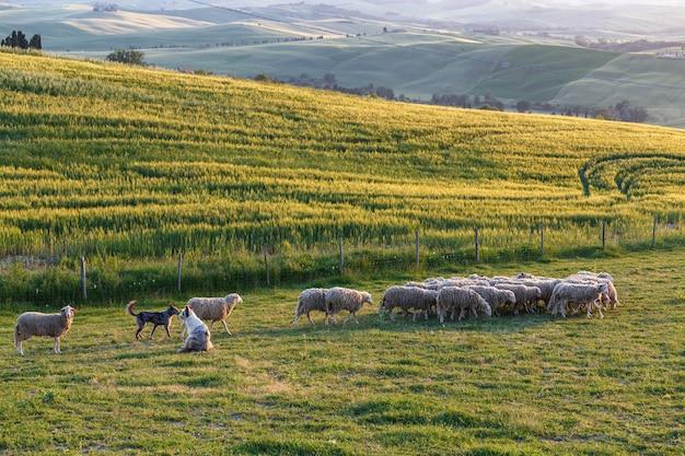 해질녘 이탈리아 투스카니의 녹색 들판에서 2마리의 개가 지켜보는 양떼