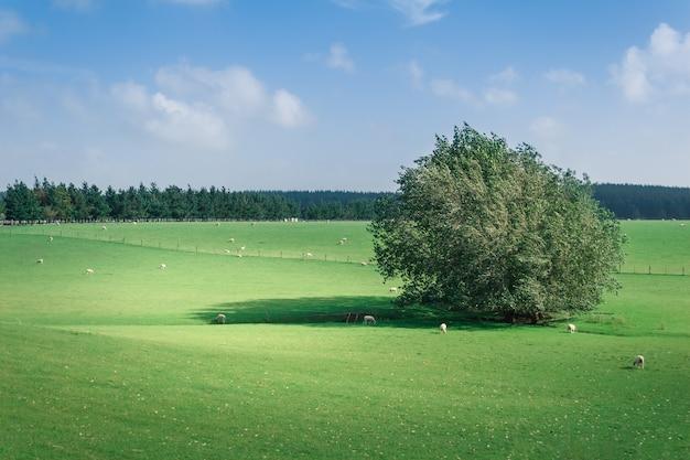 広がる柳の周りの緑の牧草地で羊の群れを放牧します。