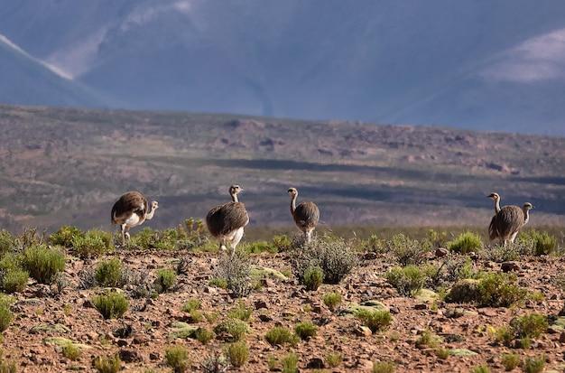 Стая малой реи гуляет в долине у вулкана. боливия