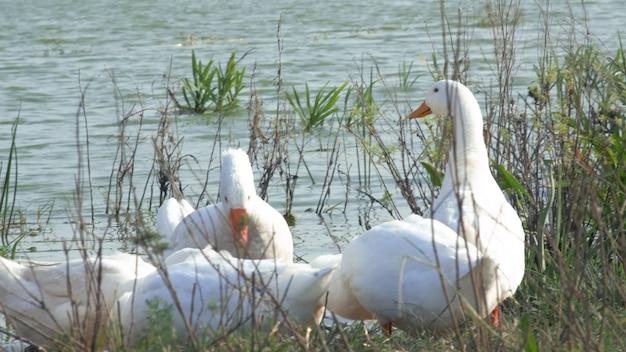 Стая белых и бурых гусей на пастбище. домашние гуси на ферме. s