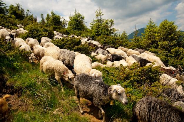 白い羊の群れ