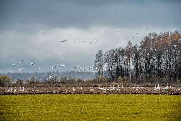 オオハクチョウの群れがフィールドでシグナスを白鳥