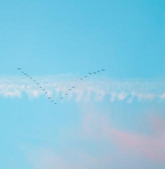 일몰에 흰색과 분홍색 구름이 있는 푸른 하늘을 배경으로 쐐기 모양으로 날아다니는 야생 새 떼