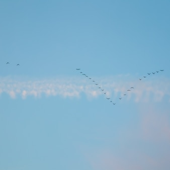 Стая диких птиц, летящих в клине против голубого неба с белыми и розовыми облаками на закате