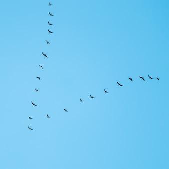 푸른 하늘을 배경으로 쐐기 모양으로 날아가는 야생 새 떼
