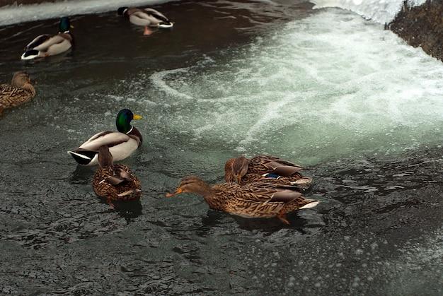 Стая диких уток крякв на незамерзающей части пруда зимой у водопада