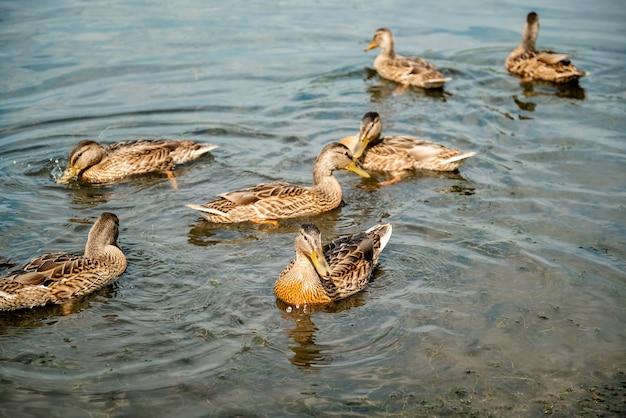野生のマガモの群れが湖で泳ぐ