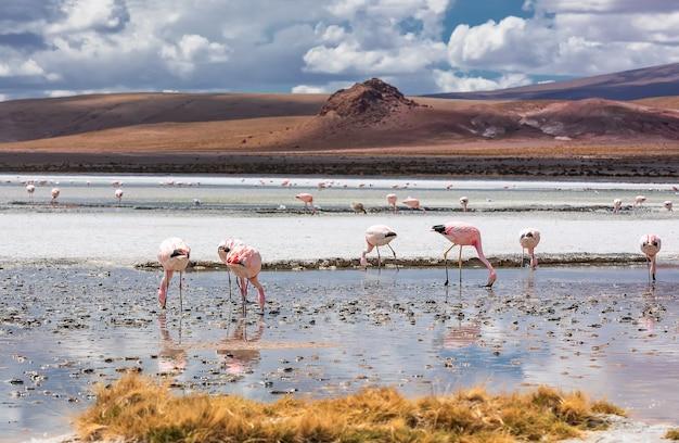 エディオンダ湖の野生のピンクのアンデスフラミンゴの群れ。南米ボリビア
