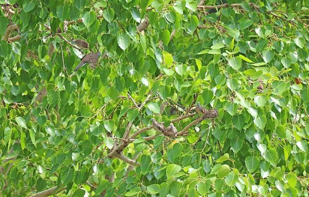 Стая диких голубей-зебр отдыхает на большом дереве бохди в городской местности