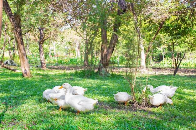 Yi liang 오리 떼의 몸은 흰색과 노란색 오리너구리로 먹이를 먹고 있습니다.