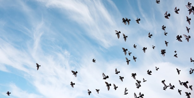 A flock of pigeons flies across the sky. birds fly against the sky. a large group of birds of pigeons flies across the sky on white background.