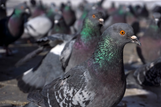Flock of pigeons visible from the height of the pigeon's eyes. focus on the nearest bird closeup