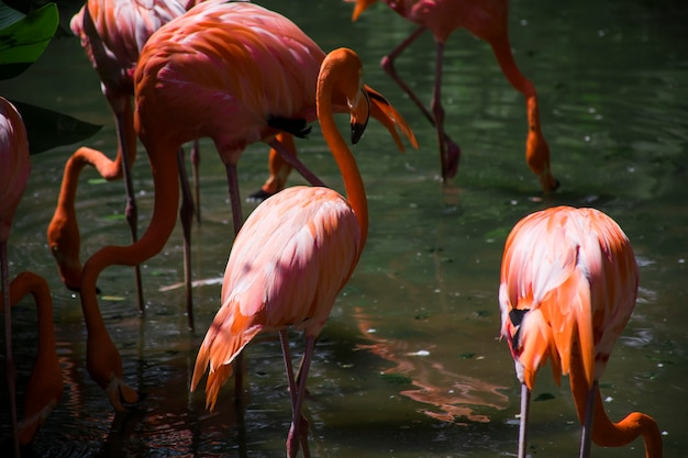 Flock of pink flamingos are bent over for food from the water.