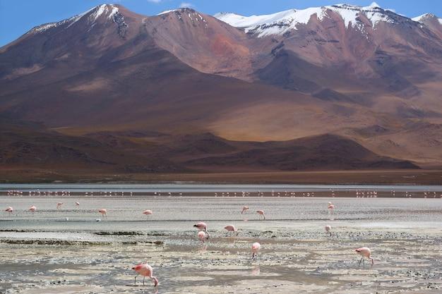 Flock of pink flamingos and grazing at laguna hedionda, bolivia