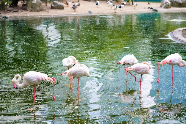 A flock of pink flamingos stands in a pond. bird watching