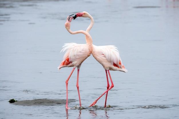 Flock of pink flamingos at walvis bay, namibia.