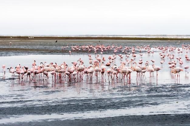 Stormo di fenicotteri rosa a walvis bay, namibia.