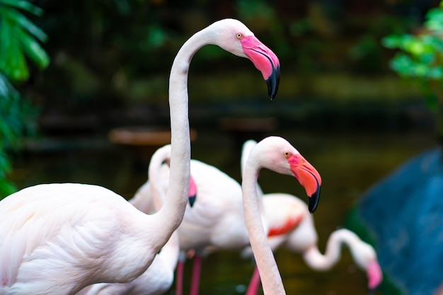 Flock of pink flamingos in the zoo pond.