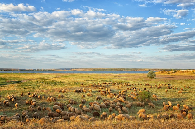 A flock of rams, sheep grazing in the summer, in the evening on the field, against the background of the sky with clouds and the river