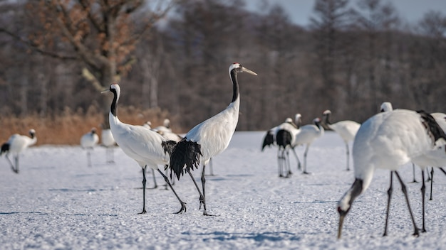 A flock of red-crowned cranes