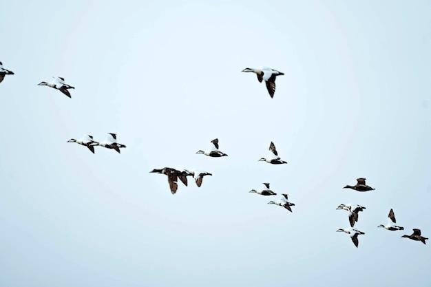 Flock of seabirds flying in the sky