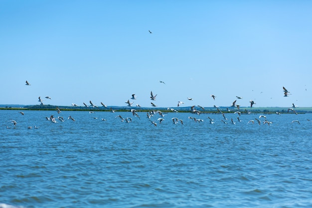A flock of seagulls hunt fish in the river
