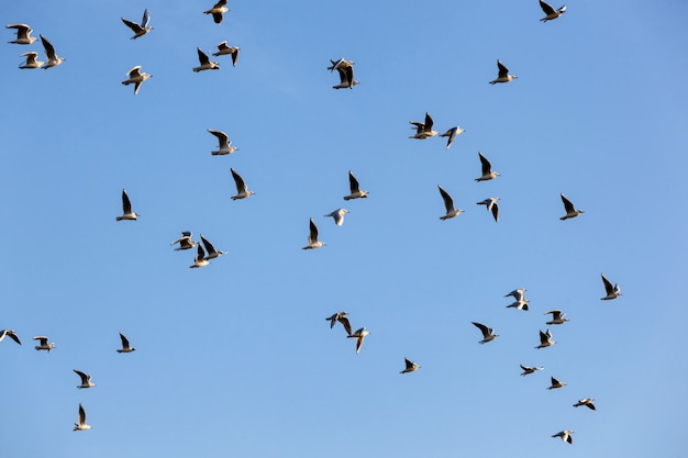 Flock of seagulls ichthyaetus melanocephalus