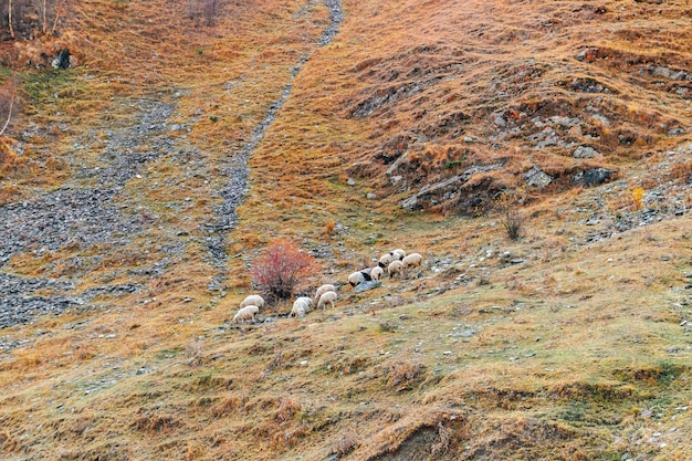 Flock of sheep on the colorful mountain hills.