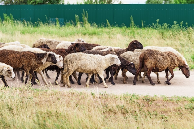 Flock of sheep go to meadow. domestic animals outdoors. stock raising. traditional farming.