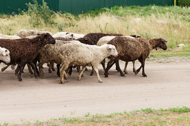 Flock of sheep go to weadow. domestic animals outdoors. traditional farming. livestock.
