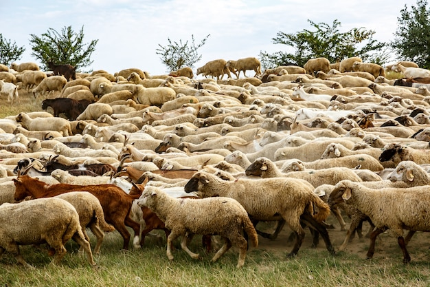 A flock of sheep on the grassland.
