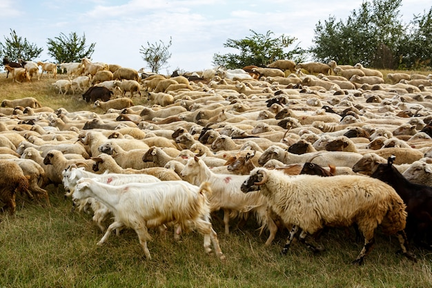 A flock of sheep on the grassland
