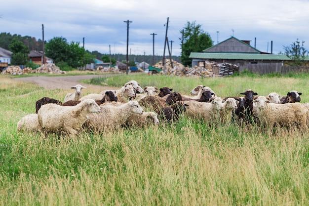 Flock of sheep graze in grass near village.