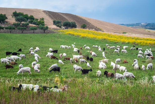 A flock of sheep grazes on a green field somewhere in sicily