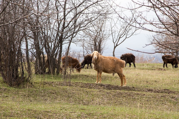 A flock of sheep grazes in nature. countryside, farming. natural rustic background. walking pets