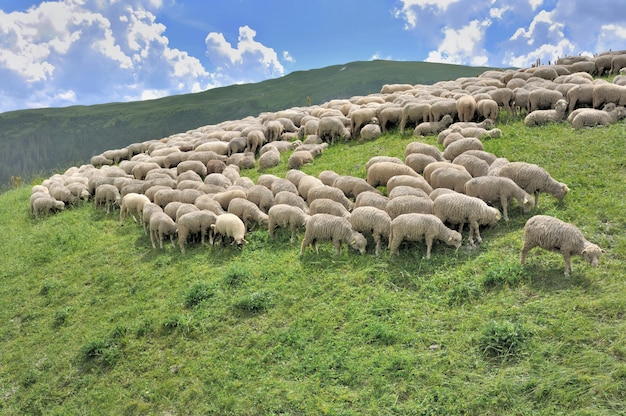 Flock of sheep grazing in alpine mountain