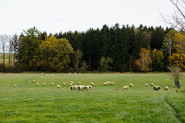 Flock of sheep grazing on beautiful green meadow