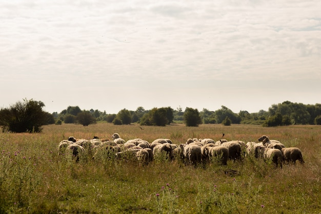 Flock of sheep grazing in the countryside