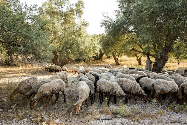 Flock of sheep grazing in a grove among olive trees