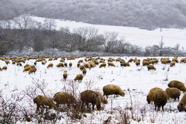 A flock of sheep and lambs during snowfall, winter landscape and sheep