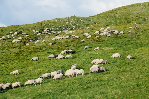 A flock of sheep on a meadow in summer