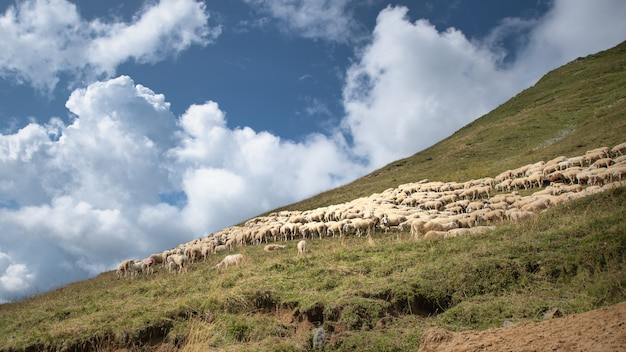 Flock of sheep in mountain pasture in the brembana valley italy