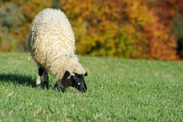 Стадо овец на осеннем поле