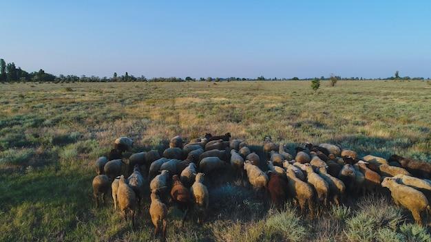 A flock of sheep runs through the dry grass
